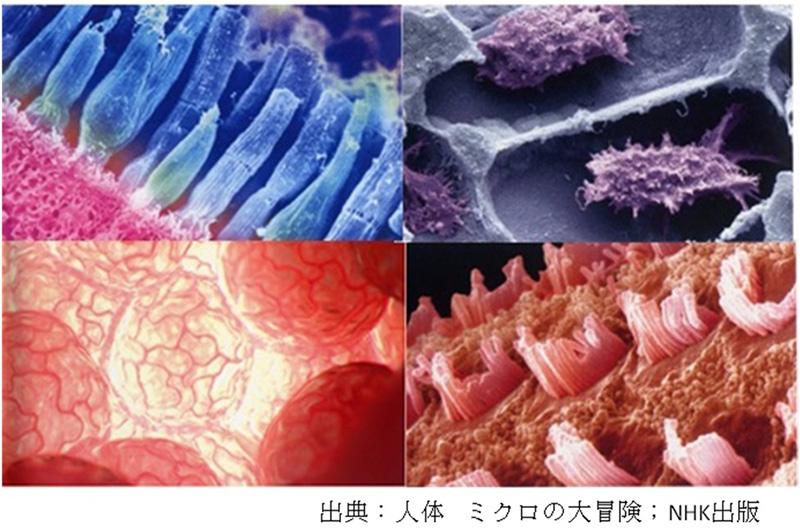 出典:人体 ミクロの大冒険 NHK出版