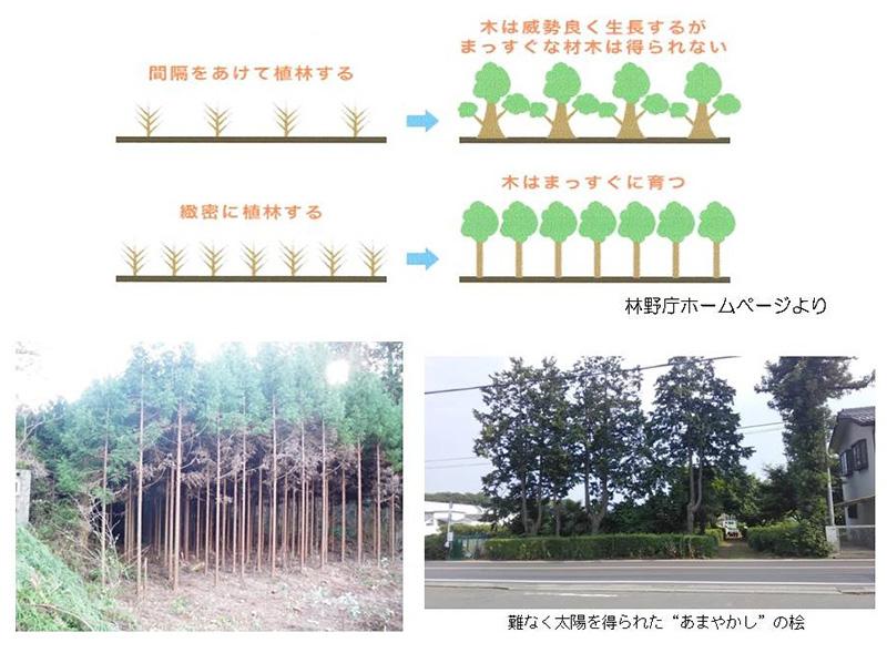 間隔をあけて植林すると、木は威勢良く成長するが、まっすぐな木材は得られない